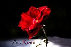 ArtRose (duldinger) Tags: art rose frieden kalender weltweit limitiert