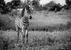 Zebra (Peter J Moore) Tags: thepinnaclehof tphofweek288