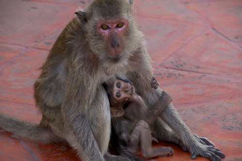 Wild Mother Monkey and Cub