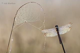 Dew (2)