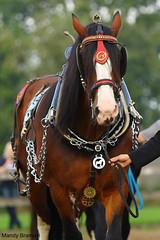 IMG_3648-k (Mandy Bramavi) Tags: show horse shire