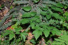 Red Baneberry (Actaea rubra) (jsommer2) Tags: plant michigan ferns bridgeport maidenhairfern adiantumpedatum redbaneberry actaearubra saginawcounty pteridophytes pricenaturecenter