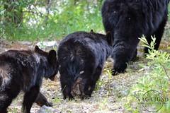 bear butts (vagabondexpedition) Tags: bear wildlife bears blackbear blackbears wildanimals babyanimal babyanimals babybears
