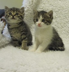 Fuzzy Paws & Molly - 5 Weeks Old (lcams) Tags: kittens happycaturday tabby pet animal cat