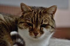 ♥ Minet ♥ (Mystycat =^..^=) Tags: minetthecat chat cat gato katze gatto félin feline kitty animal