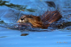 Muskrat with cub (Igor Falin) Tags: animals mammals brown muskrat wildlife nature rodent river fur lake outdoors wild marsh wet paw pond springtime rat biology zibethica food human zibethicus morning water russia sunlight zoology