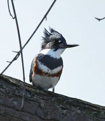 IMG_3850-1 Belted KIngfisher (John Pohl2011) Tags: canon canonsx50hs sx50hs john pohl bird perching