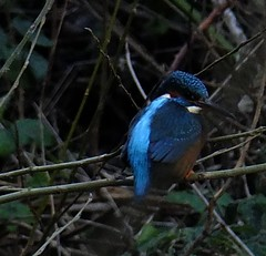 Alison...My aim is true (hope2029) Tags: kingfisher zoom dark kirkstall birds blue leeds west yorkshire