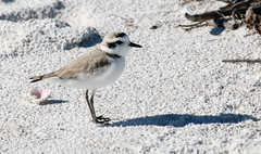 Snowy Plover (Charadrius alezandrinus); Lover's Key SP, FL [Lou Feltz] (deserttoad) Tags: nature animal water park florida bird wildbird shorebird plover behavior beach