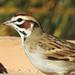 Lark Sparrow Close Up