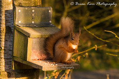 Red Squirrel (.Brian Kerr Photography.) Tags: red redsquirrel squirrel nature naturereserve dumfriesandgalloway lockerbie visitscotland scotland scotspirit photography outdoor outdoorphotography wildlife animals trees morning briankerrphotography fluffy nutkins nuts landscapephotography scottish animal