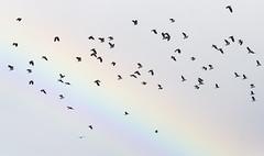Rainbow Birds (lord wardlaw) Tags: upton warren lapwings worcestershire sony sigma wildlife rainbow