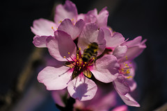 Sonje 2017 06 (PGM Photography) Tags: nikon sigma skopje sonje flowers colors spring scent smell trees bloom macedonia nature fruit bees honey macro sun sunny