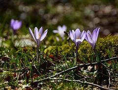 Ancora crochi (giorgiorodano46) Tags: marzo2017 march 2017 giorgiorodano nikon primavera spring crochi appennino apennnines montisimbruini naturalpark pereto abruzzo italy mountain nature bokeh crocus