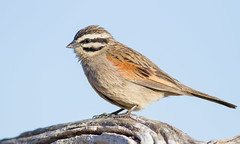 Cape Bunting (Emberiza capensis) (George Wilkinson) Tags: cape bunting emberizacapensis goegap nature reserve northern south africa bird wildlife desert karoo canon 7d 400mm ngc