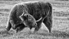 If It's Itching ... (AnyMotion) Tags: highlandcattle schottischeshochlandrind scottishgaelic cow kuh rind animal animals tiere meadow wiese nature natur 2016 anymotion travel reisen terranostraguestranch chilcotinplateau caribooregionaldistrict britishcolumbia canada kanada 7d2 canoneos7dmarkii bw blackandwhite sw ngc npc