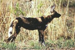 Hyenahond (Rob van t Padje) Tags: flickr zoogdieren phalaborwa zuidafrika zaf