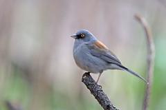 Yellow-eyed Junco (Alan Gutsell) Tags: bird photo alan wildlife nature birding yelloweyed junco yelloweyedjunco sparrow emberizine arizonabirds arizona