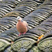 Spotted Dove - Spilopelia chinensis