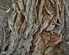 Cottonwood Bark (Ramona H) Tags: cottonwood gardiner gardinermt bark cottonwoodbark