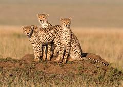 Three Cheetah (Photobirder) Tags: cheetahfamily serengetinationalpark tanzania eastafrica