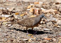 Zebra Dove------ Geopelia striata (creaturesnapper) Tags: birds thailand chiangmai doves zebradove geopeliastriata