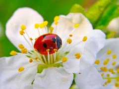 (Alin B.) Tags: alinbrotea nature spring march april ladybug ladybird flower bloom grenn stamina petal cherry