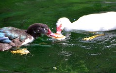 The lunch hour (viola.v94) Tags: papera oca duck goose animals water lake bread hungry feed nature earth world green nikon