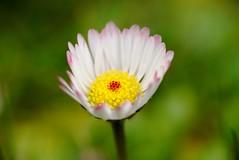 Daisy in Spring (G. Lang) Tags: sonya7ii printemps daisy sonyilce7m2 macro gänseblümchen tamronaf90mm128macro11 floraison marguerite blossom blüte frühling makro sonyalpha7ii spring