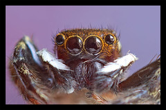 IMGP7634 (jenkwang) Tags: pentax k1 macro jumping spider reverse len kiron 282 28mm f2
