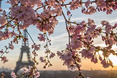Spring (julialarrigue) Tags: paris eiffeltower toureiffel cherryblossom sunset sunrise