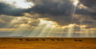 Zebra Panorama 2, Ngorongoro Crater, Tanzania