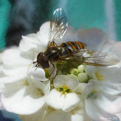 The Marmalade Pollinator (Lemon~art) Tags: marmaladefly episyrphusbalteatus insect nature hoverfly diptera fly pollinator texture flower spring