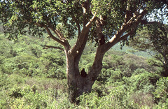 Hat es sich gemütlich gemacht... (fotoculus) Tags: südafrika rundreise2004 diascans hluhluwepark affen bärenpavian