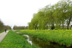 WATERLINIE PAD || WATER LINE PATH (Anne-Miek Bibbe) Tags: canonpowershotsx280hs annemiekbibbe bibbe nederland 2017 krimpenaandenijssel waterliniepad koolzaad wilgen willowtrees rapeseed