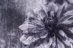 96/365 Dahlia in Monochrome (Small and Beautiful) Tags: blackandwhite dahlia drops monochrome