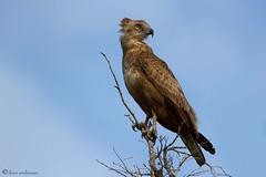 Young Brown Snake Eagle (leendert3) Tags: brownsnakeeagle sunrays5 southafrica nature wildlife krugernationalpark leonmolenaar ngc npc