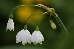 Puntuali (lincerosso) Tags: fiori flowers campanelleprimaverili leucojumaestivum primavera paludi fossi colorebianco bellezza armonia