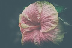 Perfection (Chandana Witharanage) Tags: srilanka southasia flower hibiscus perfection perfect පරිපූර්ණ