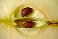 My little apple tree - HMM! (G. Lang) Tags: apfelkerne sonyilce7m2 macromondays appleseed tamronaf90mm128macro11 sonyalpha7ii makro macro memberschoiceseeds sonya7ii grainedepomme