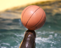 Seal with basketball (San Diego Shooter) Tags: madrid zoo spain europe bokeh seal madridzoo nathanrupertspain2014nobull nathanrupert2014spainwithbull aquariumzoomadrid