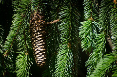Spruce cone (hickamorehackamore) Tags: june backyard native connecticut wildlife ct habitat spruce colchester certified nwf 2014 norwayspruce sprucecone