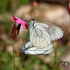 in LOVE (Giorgos Ntachris) Tags: flowers white macro love butterfly insect fly couple aporia blackveined aporiagrataegi giorgosntachris