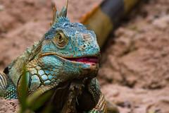 Iguana (Fausto Fa) Tags: blue red brazil brown black verde green folhas leaves azul brasil canon earth sopaulo stock preto lizard vermelho sp iguana lingua terra lagarto itatiba marrom t3i zooparqueitatiba 600d 55250 canoneosrebelt3i brasilemimagens efs55250mmf456isii