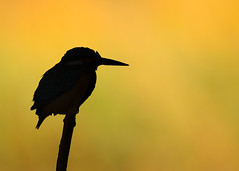 silhouette (BorisWorkshop) Tags: bird nature silhouette taiwan kingfisher common hunei
