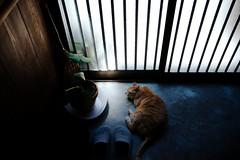 [ハック通信] 玄関で涼むハック Huck, cooling himself in the entrance (moriyu) Tags: japan cat tokyo nikon 東京 猫 ニコン thelittledoglaughed d700