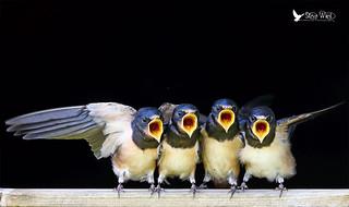 Pick me pick me ....... Swallow Juveniles