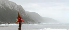 (DaniAndrews) Tags: ocean africa boy sea mountain west flower beach colors clouds coast aloe rocks waves colours cloudy indian south atlantic western cape minimalist knysna