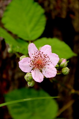 Jeyna. (Blackberry.) ( ) Tags: las white flower rose forest blackberry petal raspberry thorns shrub raspberries spikes blackberries biel rubus kwiat ra dewberries re kolce jeyna ciernie patki rowe oyna ostryna