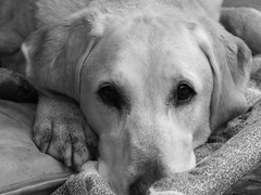 dirty dog (d2roberts) Tags: dog yellow labrador calvin dirty tired soul